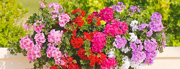 Ампельные цветы для кашпо – подборка самых красивых и неприхотливых