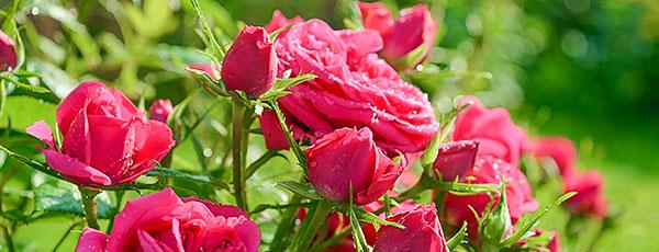 Белый налет на листьях роз: как избавится