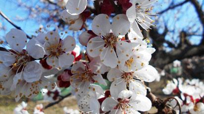 Абрикос цветет, но не плодоносит что делать