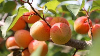 Абрикос сбрасывает плоды - что делать?