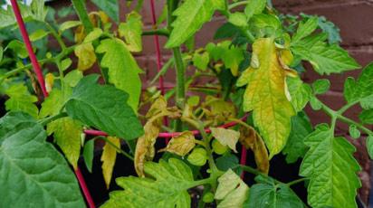 Желтеют и скручиваются листья у томатов, баклажанов и огурцов. Что делать?