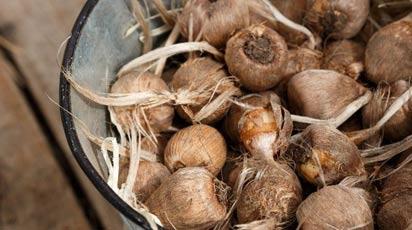 Как хранить луковицы крокусов