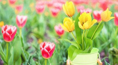 Как и когда выкапывать тюльпаны после цветения