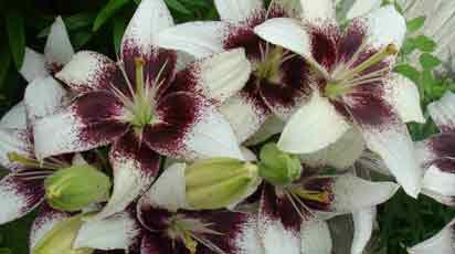 Как собрать семена лилии