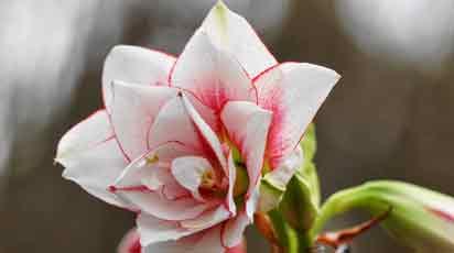 Как ухаживать за амариллисом после цветения
