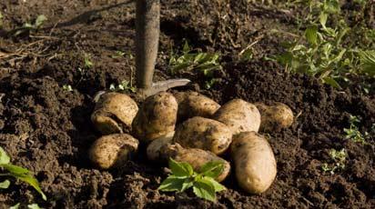 Когда копать картофель