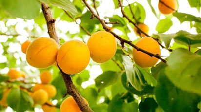 Когда плодоносит абрикос после посадки