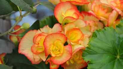 Почему бегония сбрасывает цветы