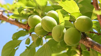 Почему опадают зеленые плоды абрикоса