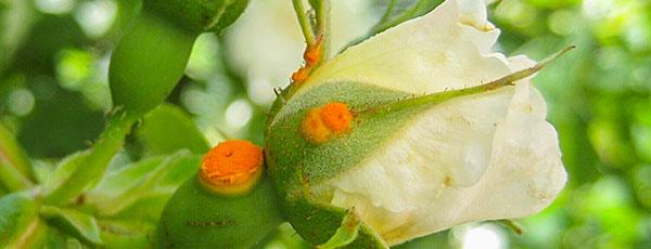 Чем обработать ржавчину на розах