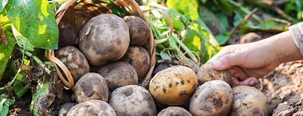 Чем обработать семенной картофель перед посадкой – самые эффективные средства