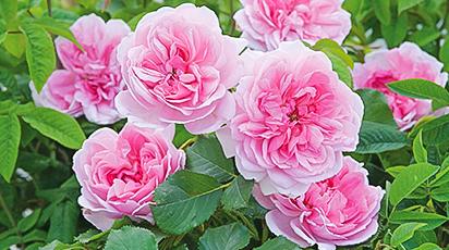 ТОП-10 неприхотливых сортов роз для начинающих розоводов