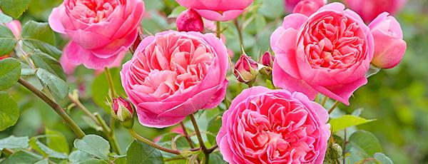 Английские розы - утонченная садовая классика