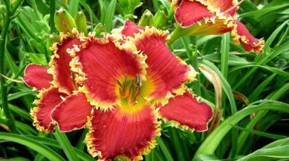 Бесподобная красота! 8 лучших сортов лилейников для вашего сада