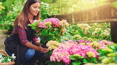 Чем подкормить гортензию для цветения