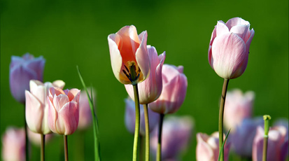 Что делать с тюльпанами, когда они отцвели