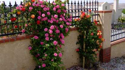 Где посадить плетистую розу