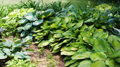 Хоста и гейхера в тенистых уголках сада