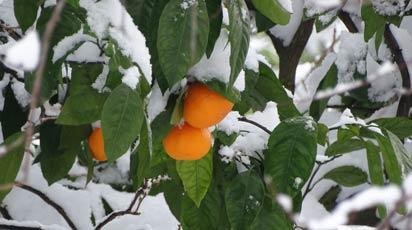Как правильно подготовить абрикос к зиме