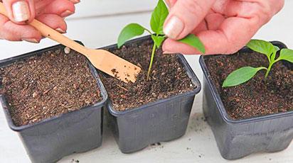 Как пикировать рассаду томатов и перца правильно