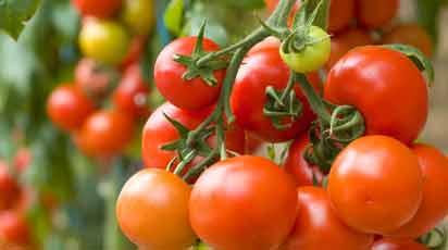 Как получить высокие урожаи помидоров лучших сортов