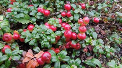 Как посадить и вырастить клюкву на дачном участке