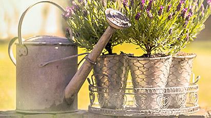 Как правильно выбрать и вырастить лаванду из семян