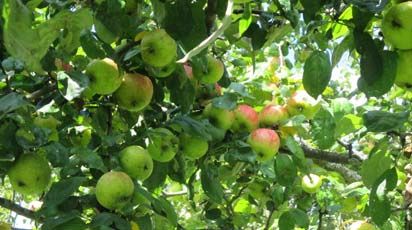 Как распознать болезни и вредителей яблони и как с ними бороться