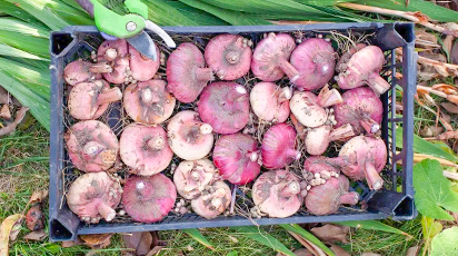 Как сохранить клубни, луковицы и корневища до весны, если сажать поздно
