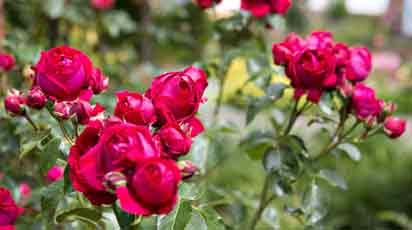 Как сохранить саженцы роз до посадки, если на улице еще холодно?