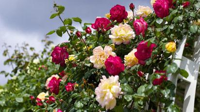 Простые способы, как узнать сорт розы по ее внешним чертам?