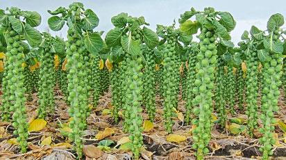 Как вырастить брюссельскую капусту - все от посева до урожая