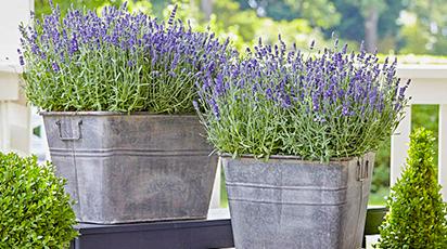 Лаванда в домашних условиях – сад ароматов на подоконнике