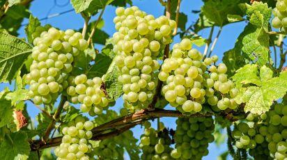 Когда и как сажать виноград весной