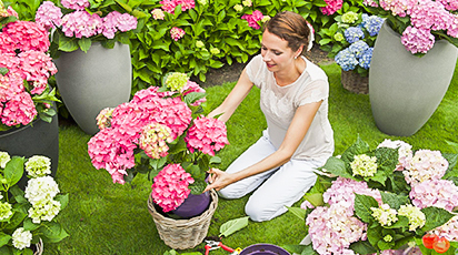 Когда лучше пересадить гортензию весной или осенью