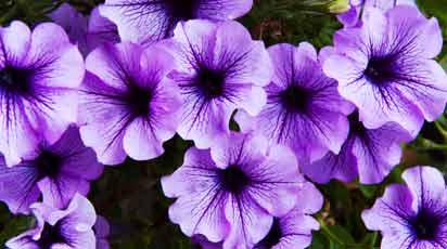 Когда сеять петунию и как добиться пышного цветения