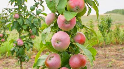Колоновидные яблони: преимущества и недостатки по сравнению с обычными