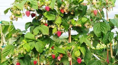 Малиновые деревья: миф или реальность? Лучшие сорта малиновых деревьев