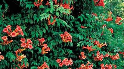 Многолетние цветущие лианы для вертикального озеленения. Фото