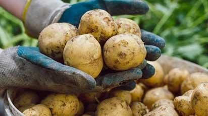 Обрабатываем семенной картофель перед посадкой: список препаратов