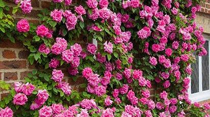Лучшие сорта морозостойких роз