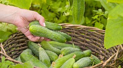 Огурцы: как собрать большой урожай с маленького огорода