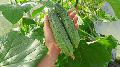 Огурцы на подоконнике: как правильно вырастить и получить хороший урожай