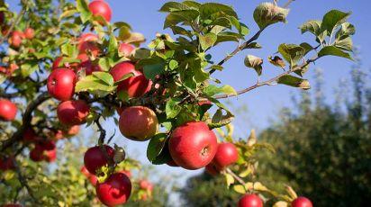 Особенности весенней посадки яблонь