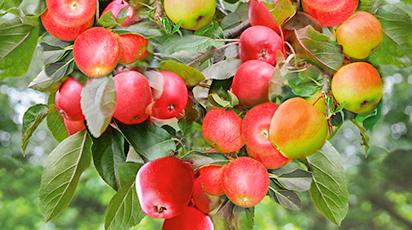 Плодовый сад дома: выращивания колоновидных деревьев в контейнере