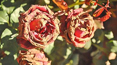 Почему сохнут листья на розах
