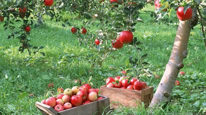 Подкормка яблонь весной перед цветением: чем, как и когда удобрять