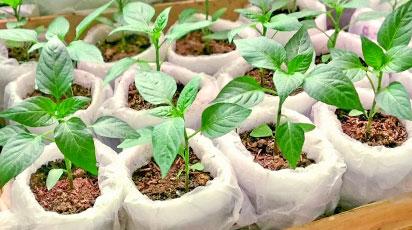 Посев семян в кипяток – экстремальный способ получения здоровой рассады