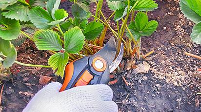 Готовим землянику к зиме. Как уберечь ягодную плантацию от морозов