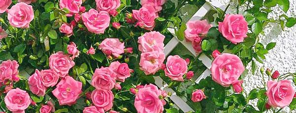 Пышноцветущие розы: ТОП-7 лучших сортов